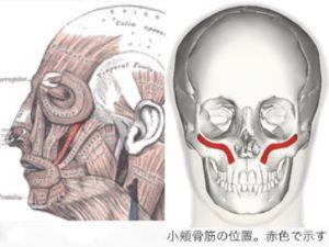 小頬骨筋の位置